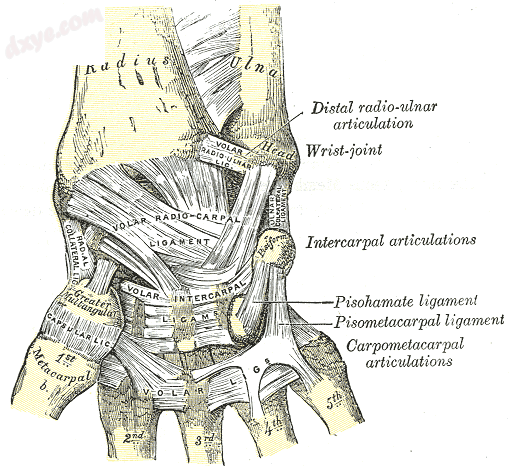 Ligaments of wrist. Anterior view. (Ulnar collateral visible at center right.).png