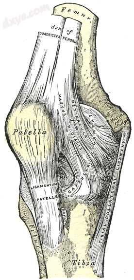 Right knee-joint. Anterior view. (Medial epicondyle visible at right.).png