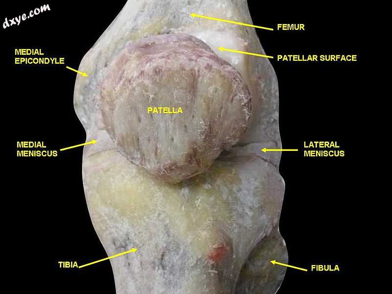 Knee joint.Deep 3 dissection. Anteromedial view..jpg