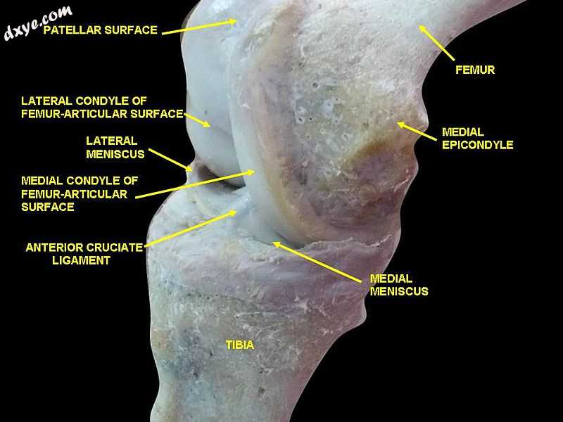 Knee joint.Deep 2 dissection. Anteromedial view..jpg