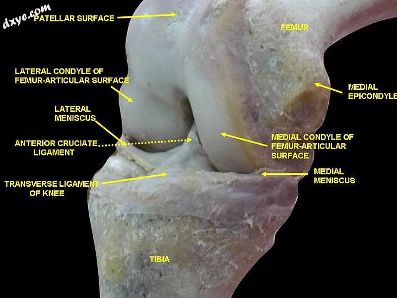 Knee joint.Deep dissection. Anteromedial view..jpg