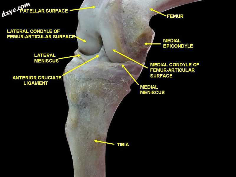 Knee joint.Deep 4 dissection. Anteromedial view..jpg