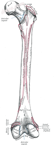Right femur. Posterior surface. (臀肌粗隆 not labeled, but visible at .png