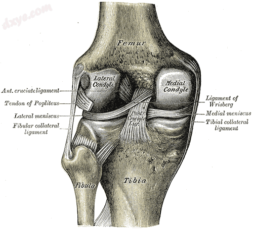 Left knee-joint from behind, showing interior ligaments..png