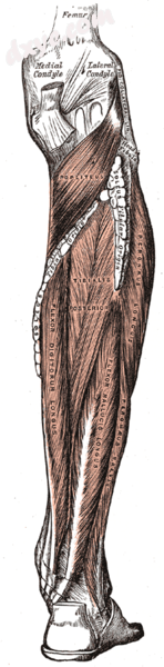 Muscles of the back of the leg. Deep layer..png