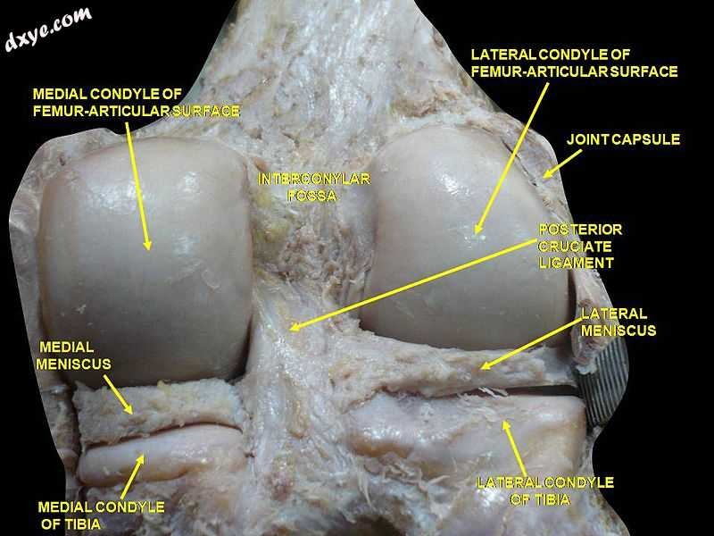 Right knee in extension. Deep dissection. Posterior view..jpg