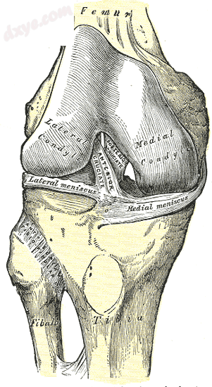 Right knee-joint, from the front, showing interior ligaments..png