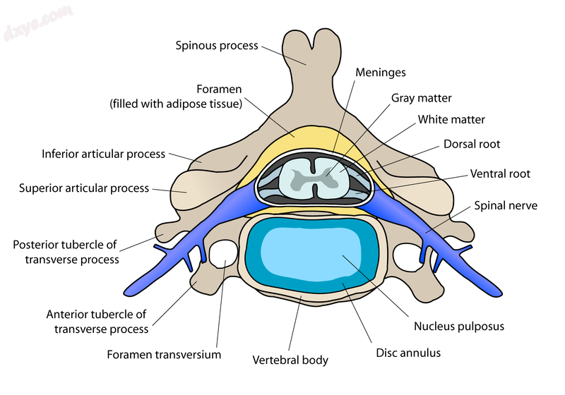 Cross-section of a spinal vertebra with the spinal cord in the centre (and grey .png