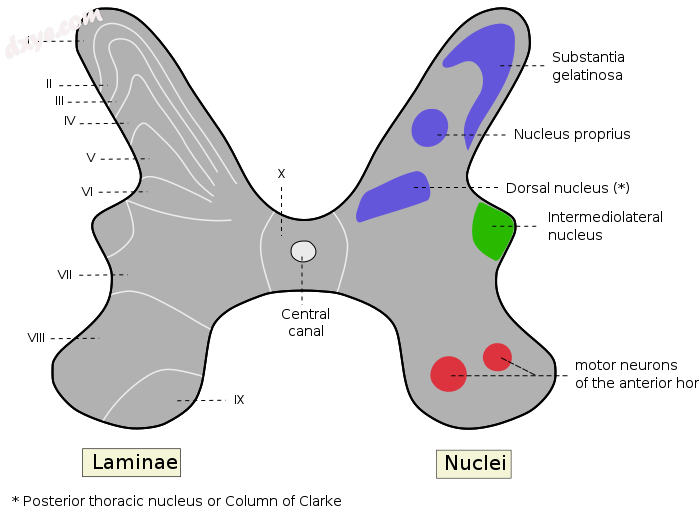 Rexed laminae groups the grey matter in the spinal cord according to its function..png